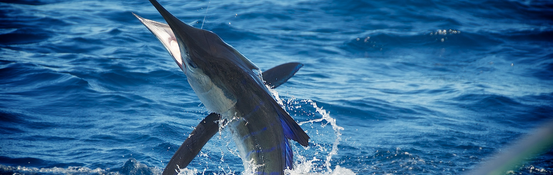 Marlin Reduced4 Catch Fish Cabo